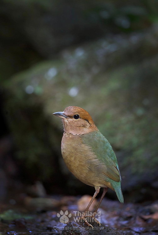 The rusty-naped pitta (Hydrornis oatesi) is a species of bird in the family Pittidae.