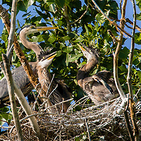 Great Blue Heron Family, Eastern Oregon