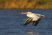 Stock photo of American White Pelican.  These birds have the largest wingspan of any bird in the Rocky Mountain Region.