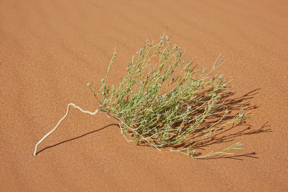 Green plant in desert sand, Merzouga, Morocco.
