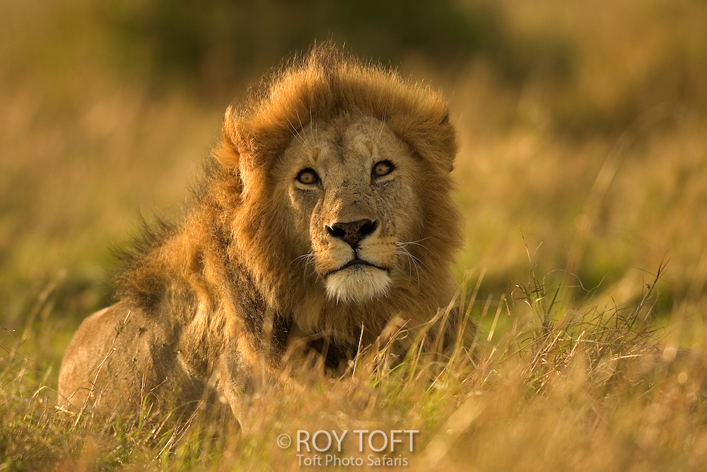 A portrait of a male African lion (Panthera leo) resting in the grass, Kenya.