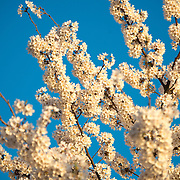 Some branches of Washington DC's famous cherry blossoms in full bloom against a blue sky.