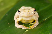 White Frog, Costa Rica Image by Andres Morya