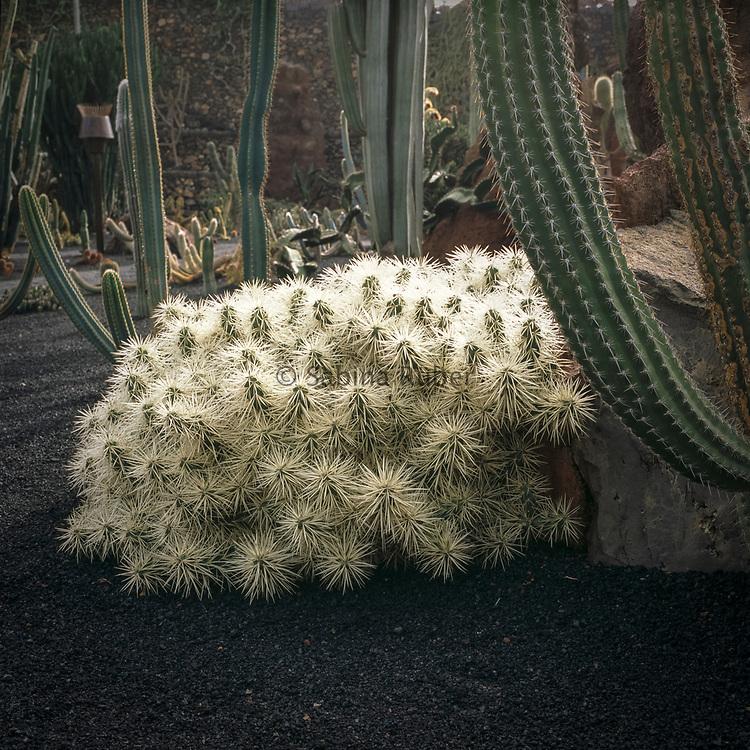 Opuntia tunicata, Jardin de Cactus, Guatiza, Lanzarote, Canary Islands