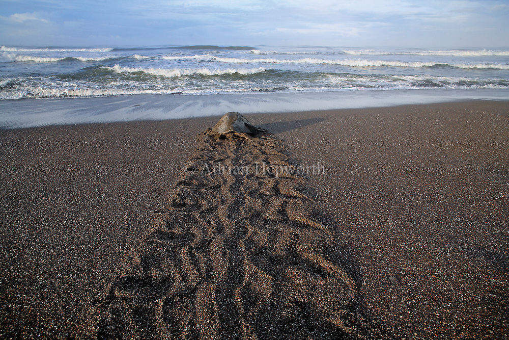 Olive Ridley Turtles (Lepidochelys olivacea)return to ocean after laying eggs during arribada on Playa Ostional, Guanacaste, Costa Rica.<br />