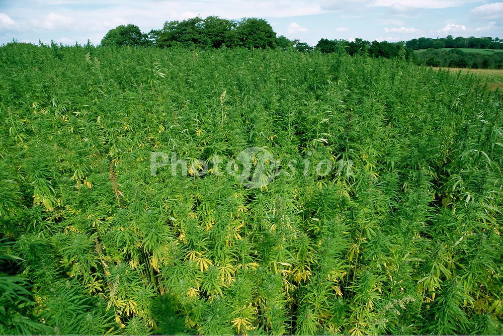A field of cannabis plants growing under government licence in a field in Devon, England..