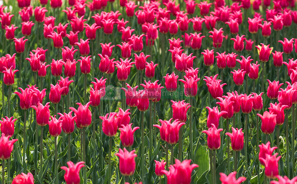August 2, 2018 - China - Blooming tulips  (Credit Image: © SIPA Asia via ZUMA Wire)