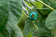 A male Green honeycreeper (Chlorophanes spies) calls to its nearby mate. Soberanía National Park, Panama.