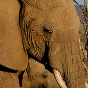 African Elephant ( Loxodanta africana) Mother with baby. Samburu Game Reserve. Kenya. Africa.