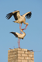 White stork (Ciconia ciconia) pair copulating at nest site on old chimney. Nemunas regional reserve, Lithuania. Mission: Lithuania, June 2009