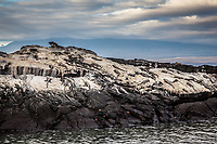 Galapagos Marine Iguana, Fernandina Island