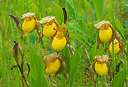 Yellow lady's slipper in rain (Cypripedium parviflorum<br /> var. pubescens)<br />