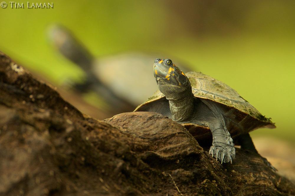 Yellow-spotted river turtle (Podocnemys unifilis) on Anangu lagoon in Yasuni National Park, Orellana Province, Ecuador