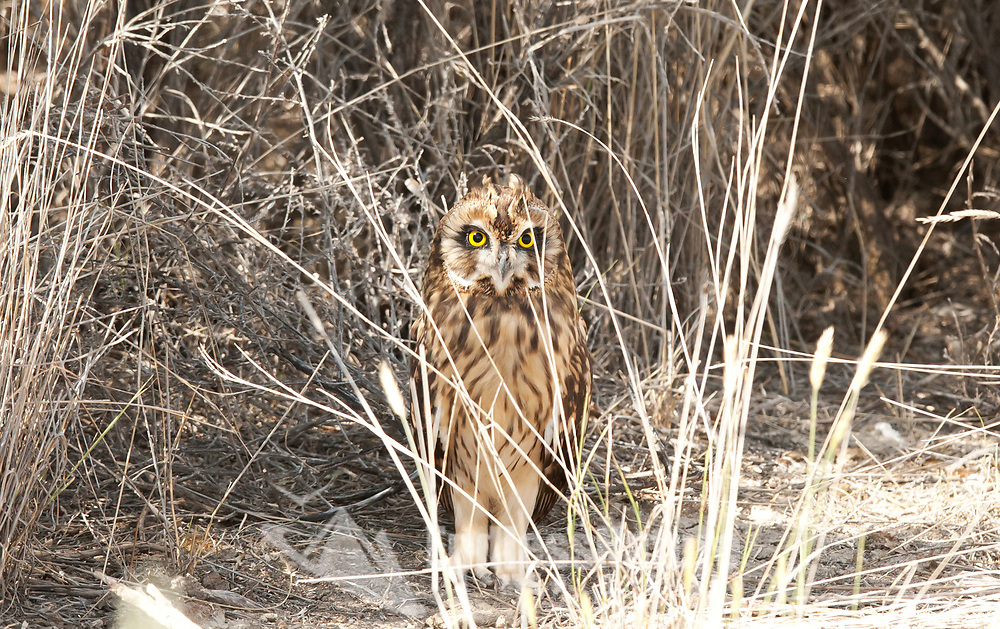 In the west desert of northern Utah farmed land fades into sagebrush deserts this is where you find Short Eared Owls congregate.