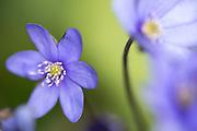 Blåveis,  Hepatica nobilis.
