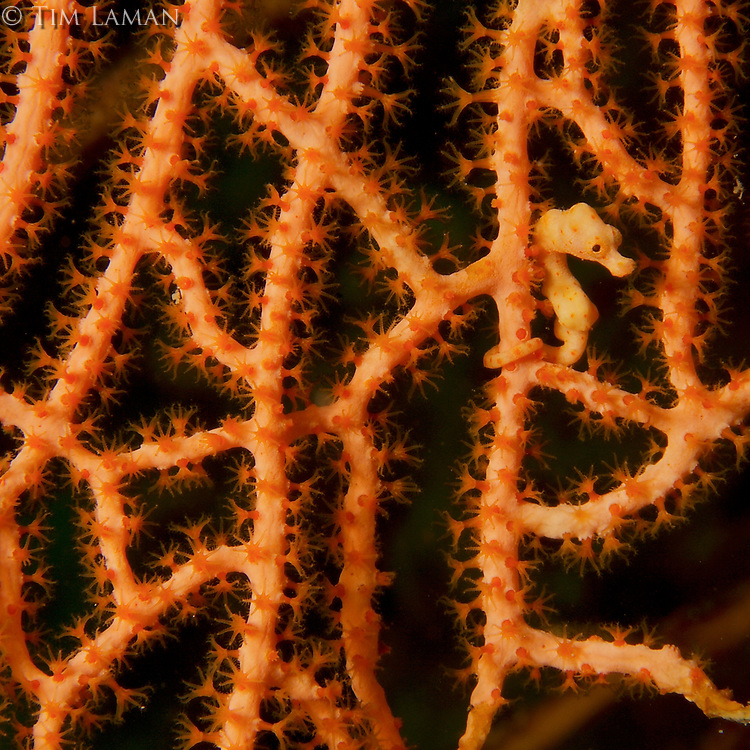 Denise's Pygmy seahorse (Hippocampus denise) camouflages itself in a sea fan.  Yellow color form.<br />