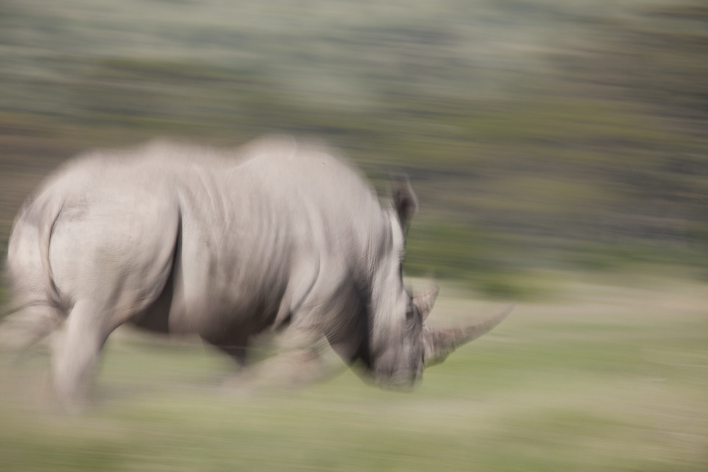 A white rhino runs in Solio, Kenya