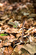 Sapling of Blackberry Bramble, Rubus fruticosus in woodland