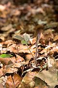 Sapling of Blackberry Bramble, Rubus fruticosus in woodland