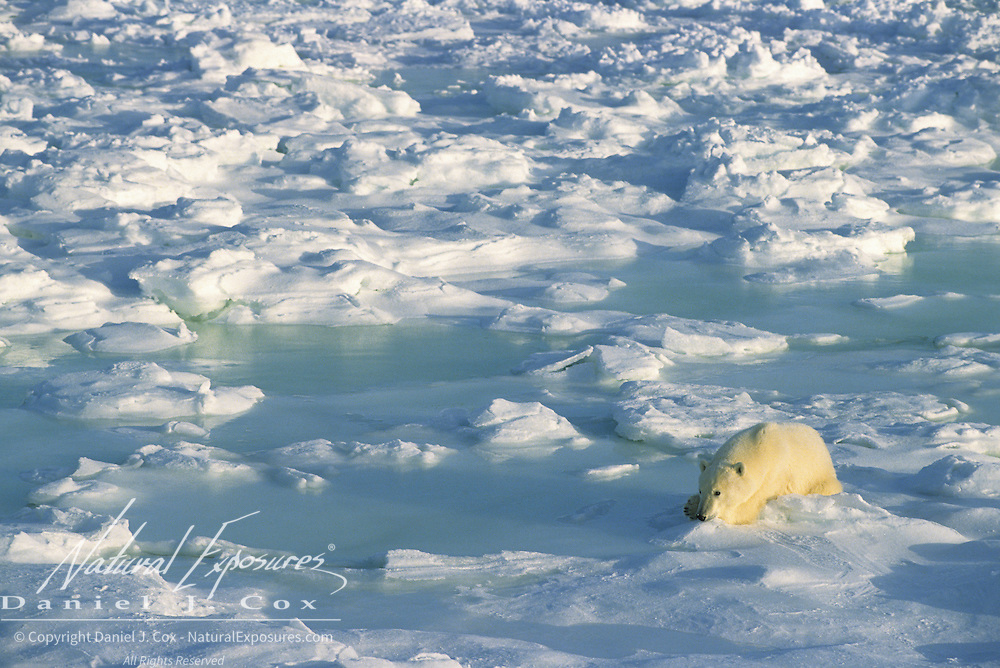 Polar Bear adult resting on the ice waiting for the Hudson Bay to freeze.