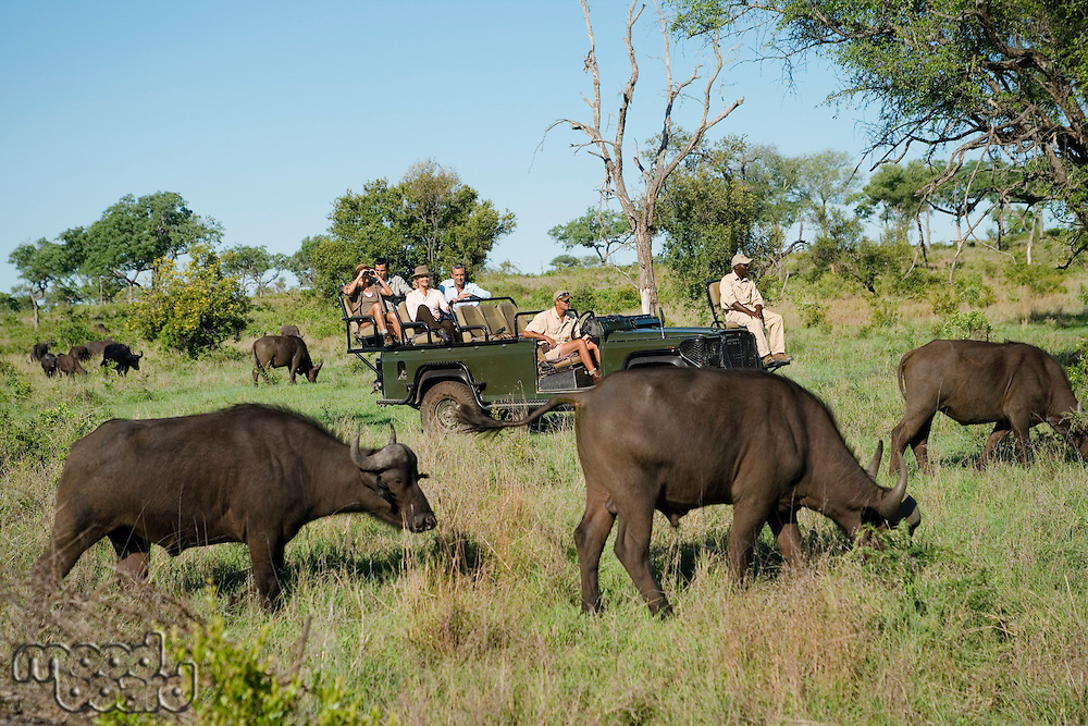 Herd of African buffaloes (Syncerus caffer) tourists in jeep in background