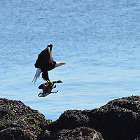 A Bald Eagle with a Goose Dinner in Seattle, WA.
