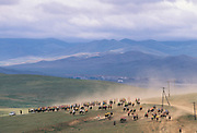 Naadam horse race<br /> Jockey's aged 4-12 years and most often girls<br /> Ulaanbaatar race track<br /> Mongolia<br /> 50km in total