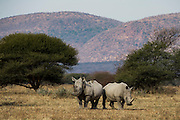 White Rhinoceros (Ceratotherium simum) &amp; redbilled oxpecker (Buphagus erythrorhynchus)<br /> Private Game Reserve<br /> SOUTH AFRICA<br /> RANGE: Southern &amp; East Africa<br /> ENDANGERED SPECIES