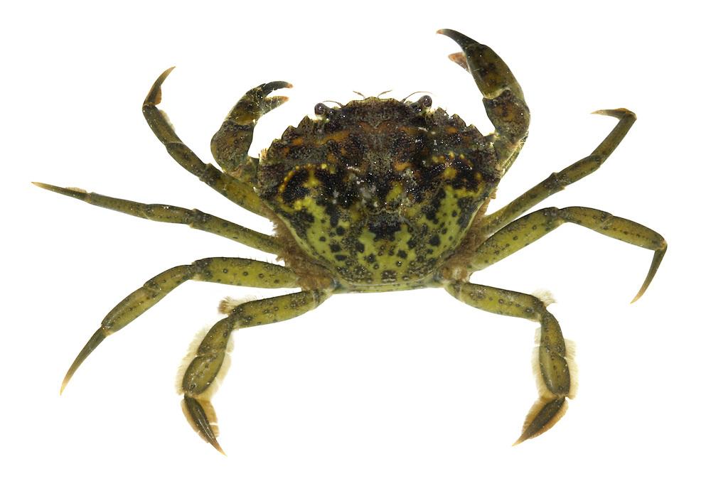 Green Shore Crab - Carcinus maenas