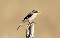 A Loggerhead Shrike perched on a fence post with a grasshopper it has just caught.