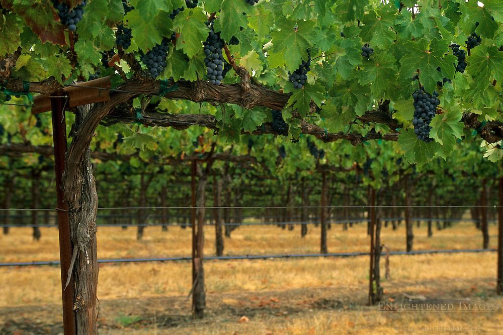 Vineyards along Dutcher Creek Road, near Cloverdale, Sonoma County, California