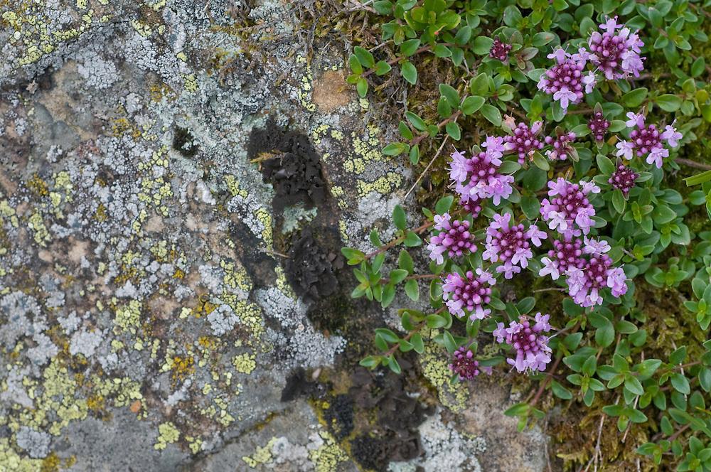 Thymus polytrichus; Wild Thyme, Ruggellerriet, Liechtenstein