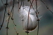 Close up of a bird's feather caught in the branches of a bush