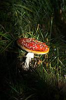 BEETSTERZWAAG -   De vliegenzwam (Amanita muscaria) is een opvallende paddenstoel, Golf & Countryclub Lauswolt . Copyright Koen Suyk