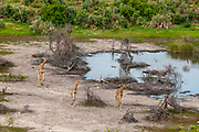 Southern giraffes (Giraffa camelopardalis) running in the Okavango delta.