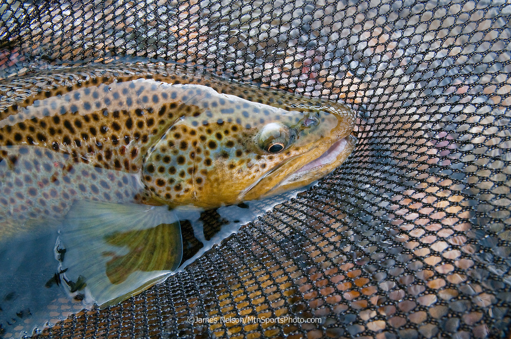 A brown trout in a fishing net during a fall day on the South Fork of the Snake River, Idaho.