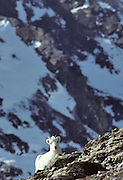 Dall Sheep, Sheep, Female Sheep, Ewe, Denali National Park, Alaska