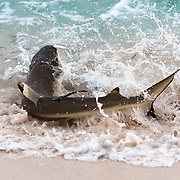 This is a blacktip reef shark (Carcharhinus melanopterus) beaching itself to catch sardines. This occurred in the early morning, just before sunrise, when large schools of the baitfish gathered in shallow water. Several species worked together to herd and catch the fish. In the water, trevallies and blacktip reef sharks herded the fish, forcing them into concentrated groups. From the air, brown boobies and terns hovered. The predators coordinated their attacks, usually with trevallies making high-speed runs through the groups of fish. This caused panic, sending the sardines in every direction. Blacktip reef sharks then charged in and beached themselves, chasing baitfish onto shore, while boobies and terns picked off fish at the surface, separated from the other fish. This action was rapid, often resulting in sweeping waves of panicked fish washing down the length of the shoreline. Once the sun came up, the action slowed down and usually stopped within 20-30 minutes after sunrise.