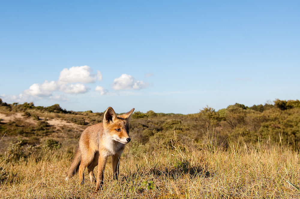 Red Fox (Vulpus vulpus) cub standing on a dune top