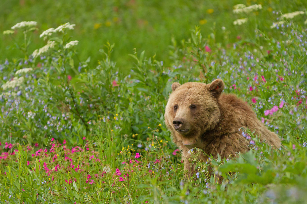 A grizzly sow enjoys the lush summer vegetation on Dunraven Pass in Yellowstone Park. As summer progresses through the dog days of August, grizzlies will leave these mountain meadows to search for army cutworm moths in the boulder fields of the alpine tundra.