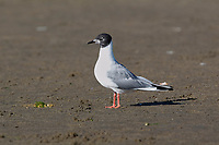 Bonaparte's Gull (Larus philadelphia)   Photo: Peter Llewellyn