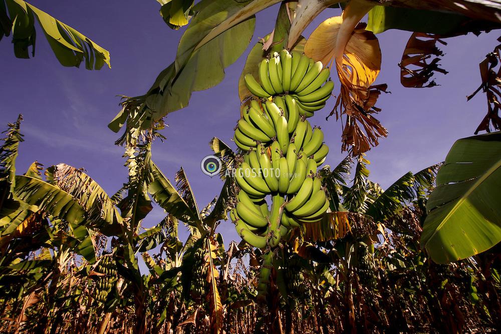 Plantacao de banana da fazenda Brejo Limpo, Colina/SP. / Banana plantation in the Brejo Limpo farm, Colina/SP.