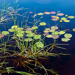 Water lilies in Lone Jack Pond in Maine's Northern Forest. Cold Stream watershed. Johnson Mountain Township.