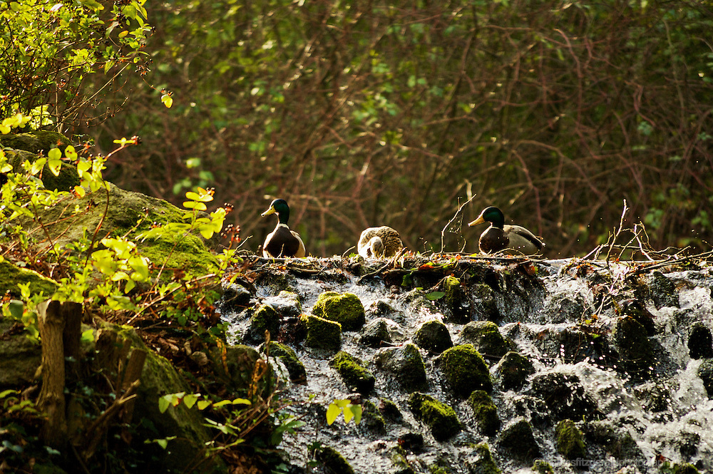 Marley Park, Dublin, Ireland: A row of ducks stand at the top of a waterfall in the middle of the park