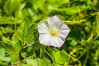 Field bindweed is an invasive and non-native member of the morning glory family that is widespread across most of North America. Although it has very beautiful  flowers, it is considered a pest and nuisance in gardens, such as this one growing in a field in northeastern Colorado.