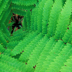 Ostrich Fern, Matteuccia Struthiopteris, in Maine's Acadia National Park.