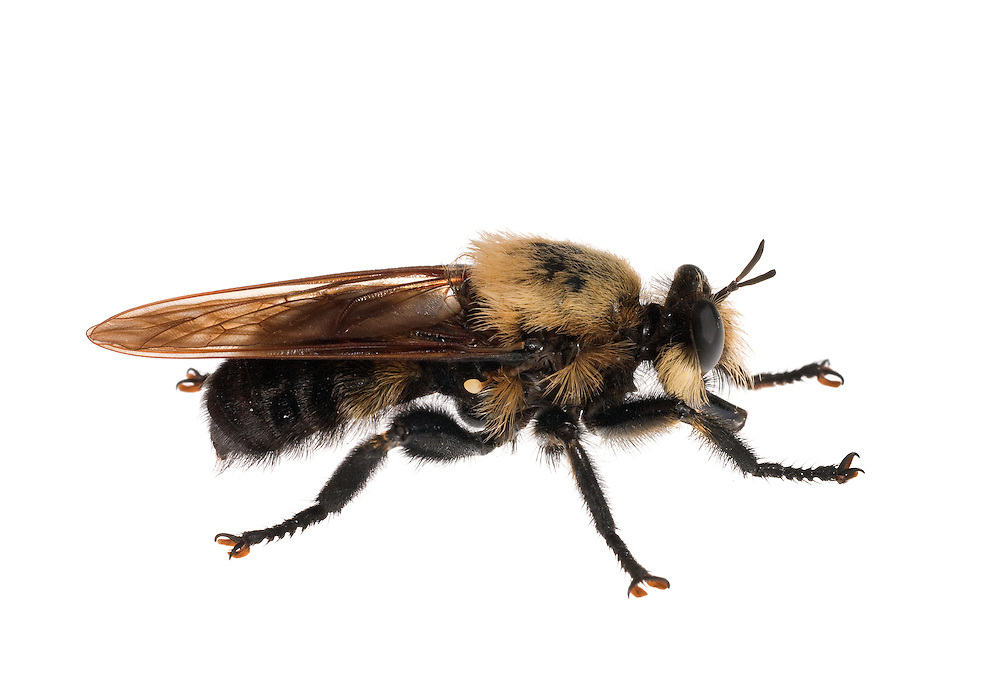 Mallophora fautrix a robber fly known as Bee Killer, which mimics bumble bees.