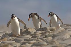 Auf ihren Weg von der Brutkolonie  zum Meer überqueren die Eselspinguine  (Pygoscelis papua) den breiten Sandstrand. An besonders windigen Tagen fegt ein regelrechter Sandsturm darüber hinweg. | Commuting between the ocean and the rookery the Gentoo Penguins (Pygoscelis papua) cross the sandy beach. On stormy days  the sand is whirled up.