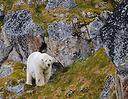 A polar bear walks along the steep coastal cliffs in Svalbard.