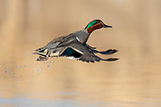 Green-winged Teal, Anas crecca carolinensis, male, Brown County, South Dakota